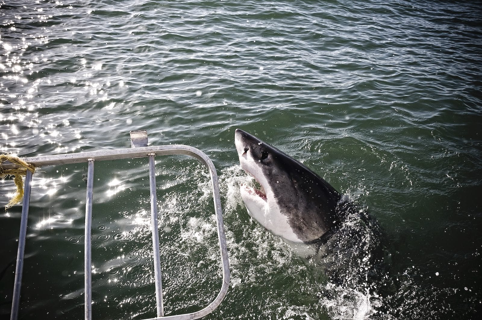 Shark Cage Diving with Great Whites South Africa