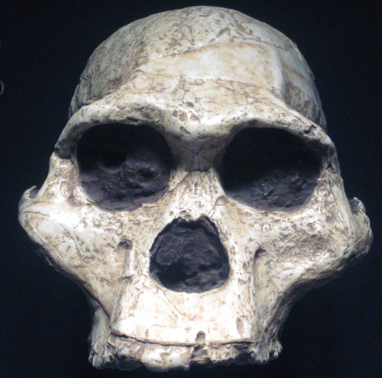 Sterkfontein collection, Transvaal Museum, Pretoria, South Africa