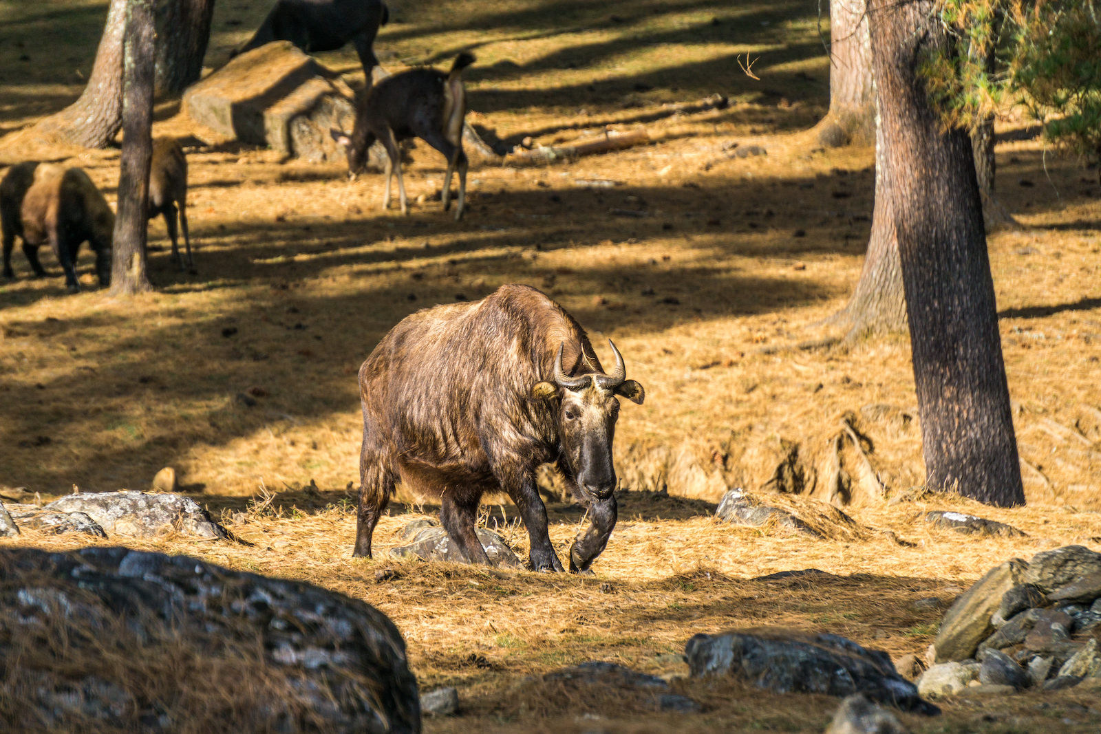 The Takin at Motithang Takin Preserve, Bhutan