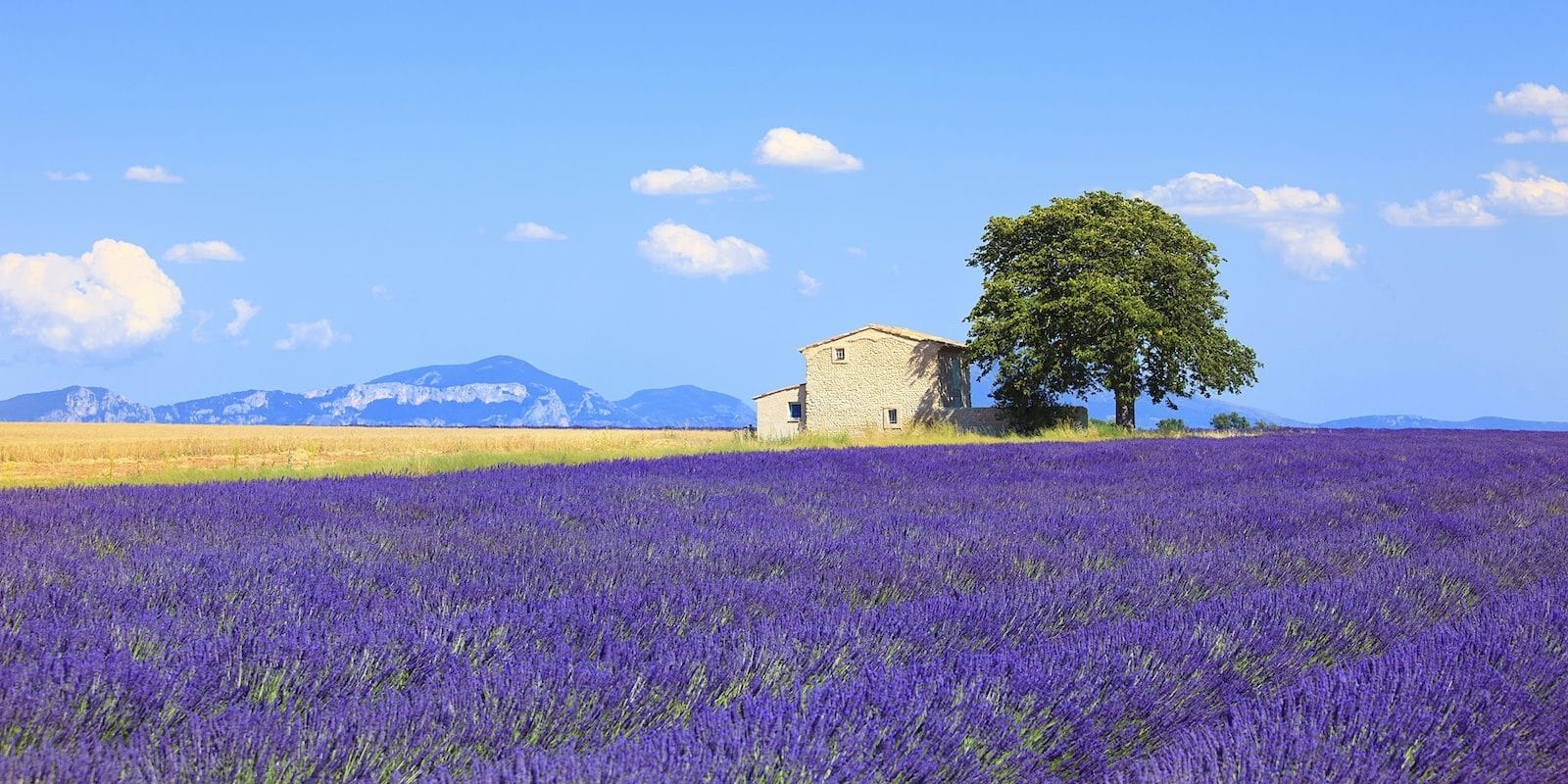 Lavender at Provence in France