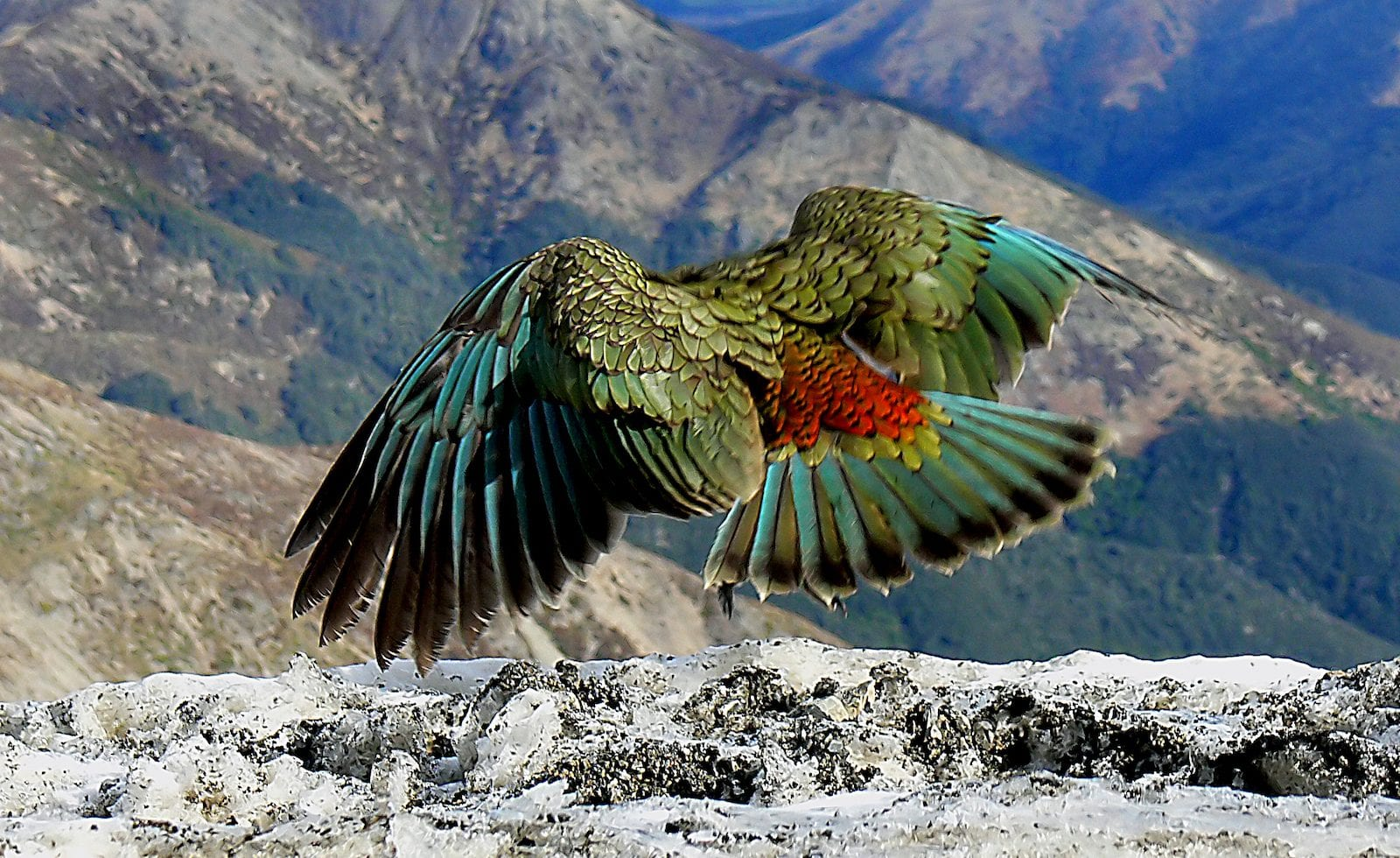 The Kea New Zealand.
