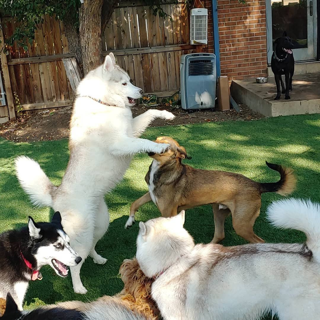 Rover Husky Standing on Two Feet Playing with Other Dogs