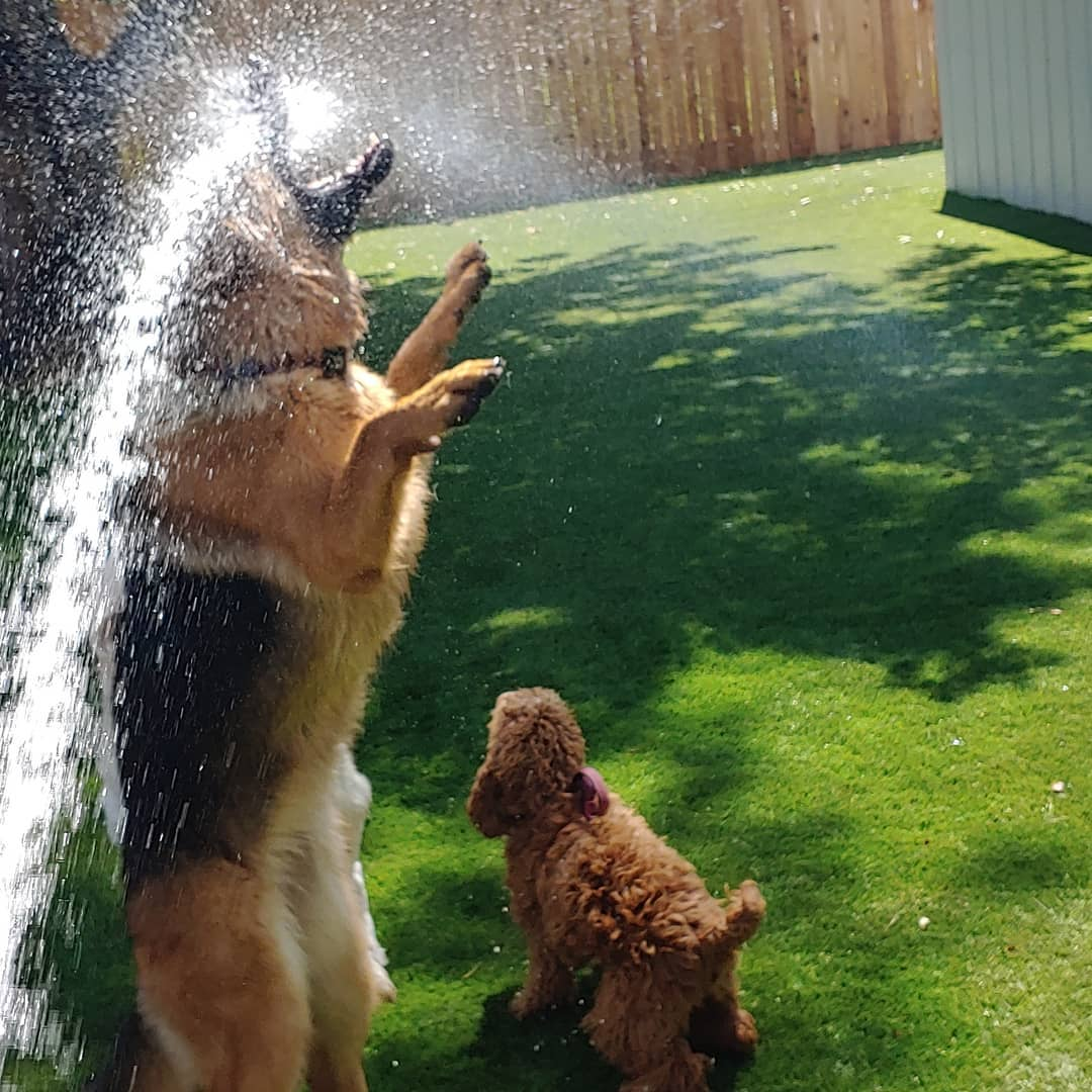 German Shepherd Drinking From Hose on Two Feet during Rover Dog Sitting