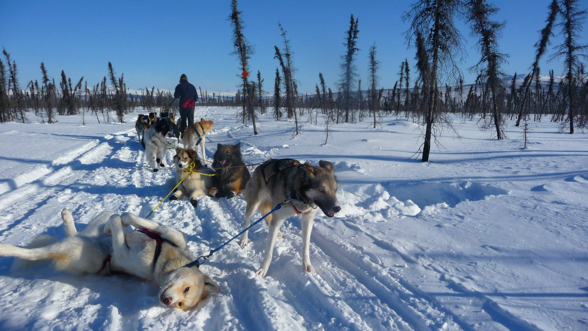 Image of a dog sled with huskies in snowy alaska