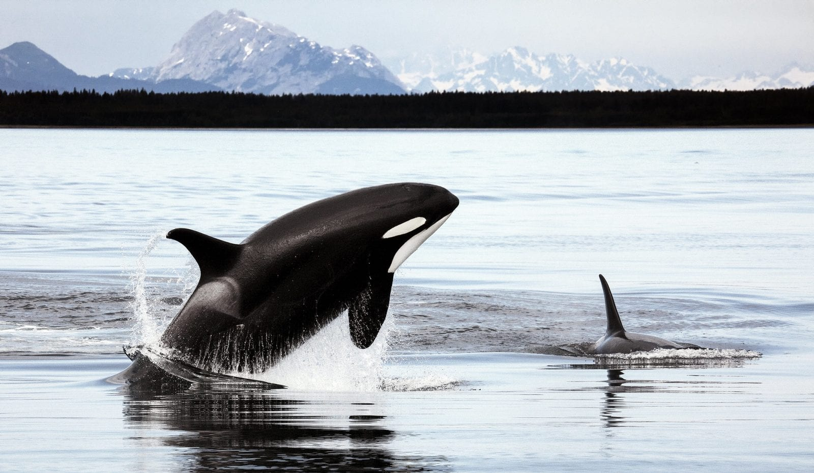 Image of orca breaching the water in alaska